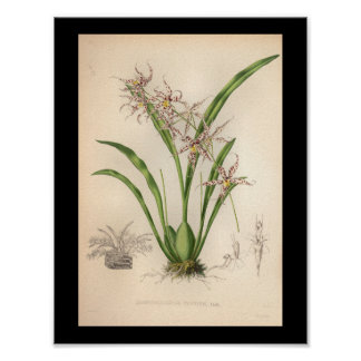 1860 Vintage Orchid Flower Print Purple Spotted