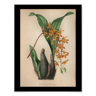 1860 Vintage Orchid Flower Print Red