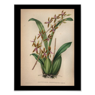 1860 Vintage Orchid Flower Print Red Striped