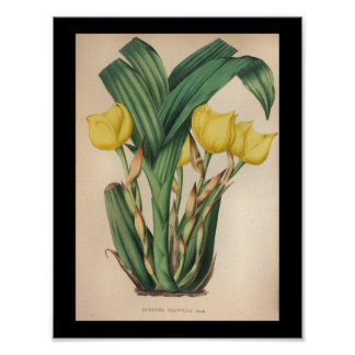 1860 Vintage Orchid Flower Print Yellow