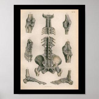 1879 Vintage Bock Anatomy Print Spine Joints