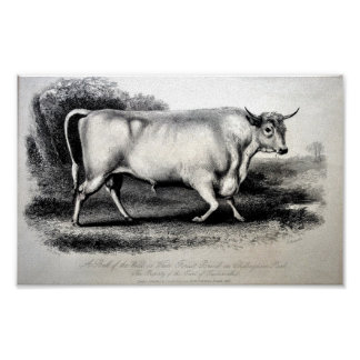 1880s Engraving Chillingham Bull by Gauchi Posters