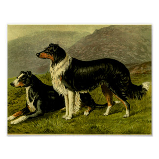 1881 Vintage Sheep Dogs Print