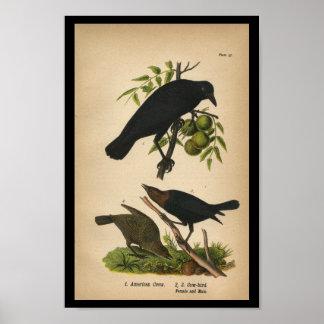 1890 Bird Print American Crow