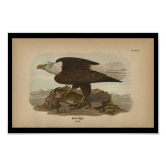 1890 Bird Print Bald Eagle