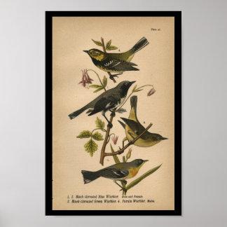 1890 Bird Print Black-throated Blue Warbler
