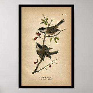 1890 Bird Print Blackcap Titmouse