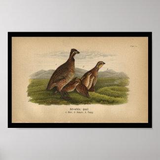 1890 Bird Print Bob-white Quail