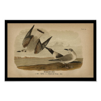1890 Bird Print Bonaparte's Gull