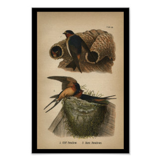 1890 Bird Print Cliff and Barn Swallows