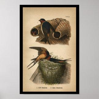 1890 Bird Print Cliff and Barn Swallows