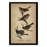 1890 Bird Print English Sparrow