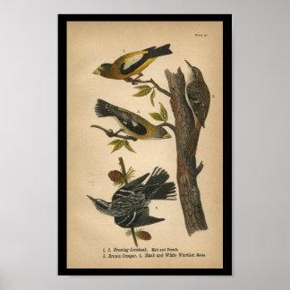 1890 Bird Print Evening Grosbeak