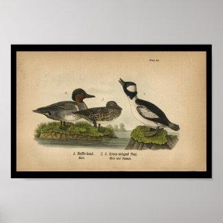 1890 Bird Print Green-winged Teal