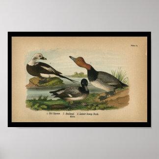 1890 Bird Print Lesser Scaup Duck