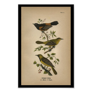 1890 Bird Print Orchard Oriole