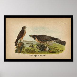 1890 Bird Print Peregrine Falcon
