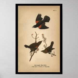 1890 Bird Print Red-winged Black Bird