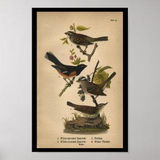 1890 Bird Print White-throated Sparrow