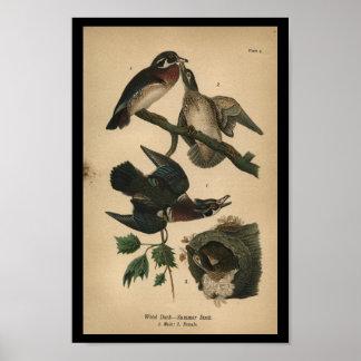 1890 Bird Print Wood Duck