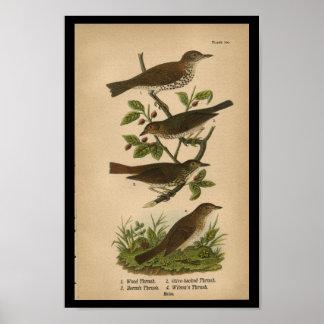 1890 Bird Print Wood Thrush