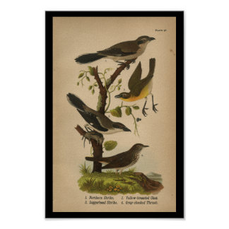 1890 Bird Print Yellow-breasted Chat