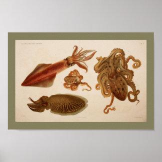 1896 Vintage Color Octopus Squid Print