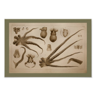 1896 Vintage Octopus Anatomy Art Print
