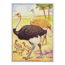 1906 Book Illustration of Ostrich Poster