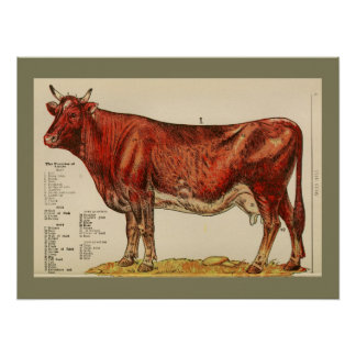 1917 Vintage Cow Anatomy Chart Poster