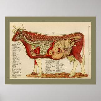 1917 Vintage Cow Internal Anatomy Chart