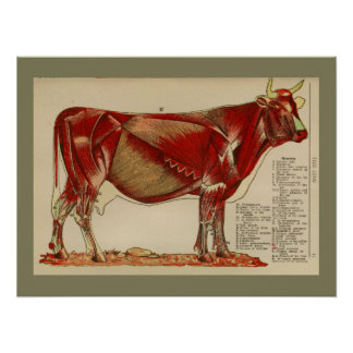 1917 Vintage Cow Muscle Anatomy Chart Poster