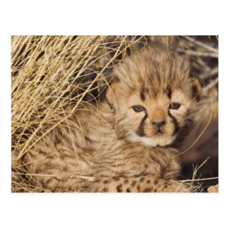19 days old male cub. Namibia Postcard