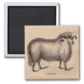 19th century print Dorset ram Magnet