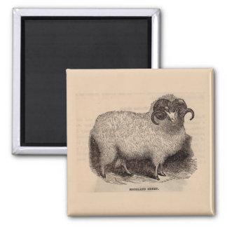 19th century print Highland sheep Magnet