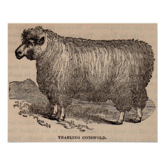 19th century print yearling Cotswold sheep