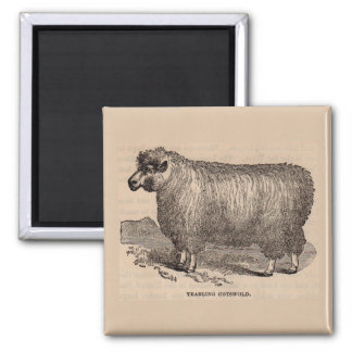 19th century print yearling Cotswold sheep Magnet