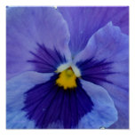 1 Blue Beauty Pansy Poster