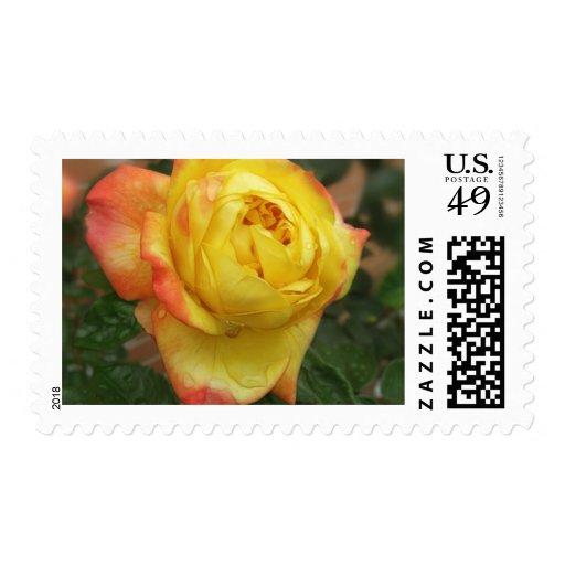 1 color de rosa amarillo y anaranjado imponente sello