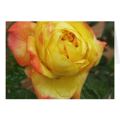 1 color de rosa amarillo y anaranjado imponente felicitaciones