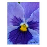 1 Pansy Blue Beauty Postcard