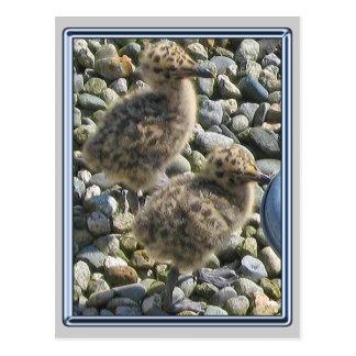 1 postal vieja de los polluelos de la gaviota de l
