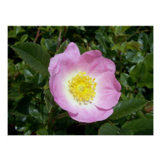 1 poster color de rosa salvaje rosa claro