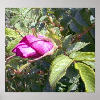 1 poster color de rosa salvaje rosado