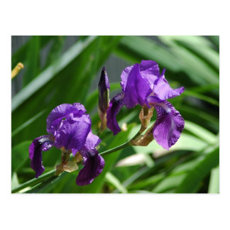 2013 Purple Iris 1 Postcard