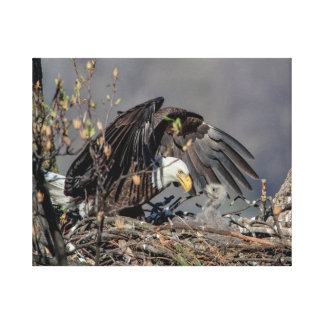 20x16 Bald Eagle with her baby Canvas Print