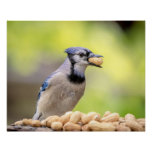 20x16 Blue jay with a peanut Poster