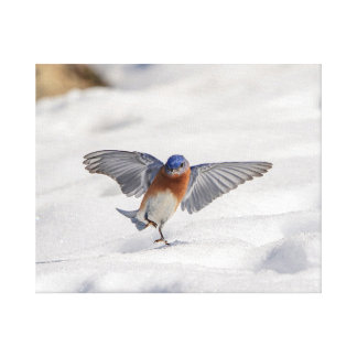 20x16 Eastern Bluebird dancing in the snow Canvas Print