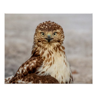 20x16 Immature Red-Tailed Hawk on the ground Poster