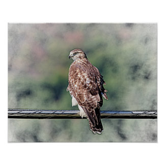 20x16 Immature Red Tailed Hawk Poster